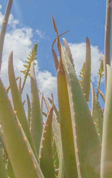 How Aloe Vera benefits your skin