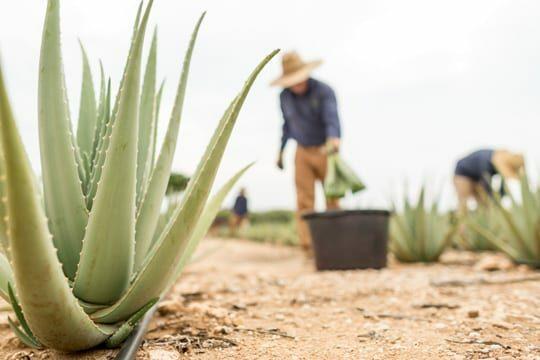 Aloe Vera ALHYDRAN ingredient